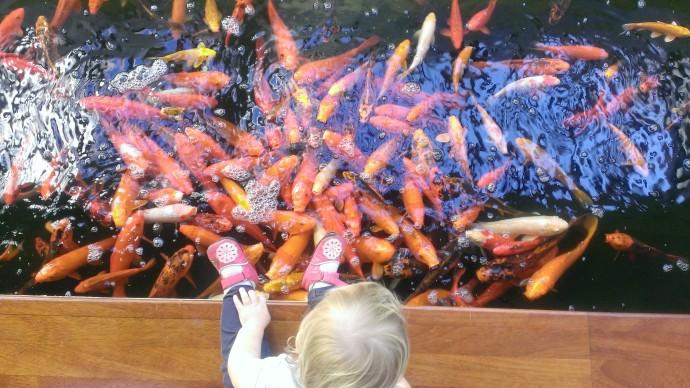 Feeding Coy Fish at Mauna Lani Bay Hotel